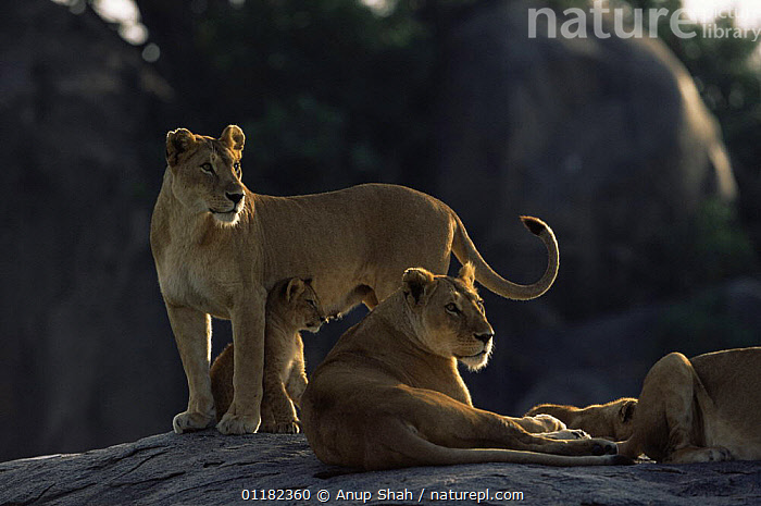 African lion {Panthera leo} pride resting on top of Kopje, Serengeti NP, Tanzania  ,  BABIES,BIG CATS,CARNIVORES,East Africa,FAMILIES,FEMALES,GROUPS,lioness,LIONS,MAMMALS,RESERVE,rock,tanzania,VERTEBRATES,Africa,,Serengeti National Park, UNESCO World Heritage Site,  ,  Anup Shah