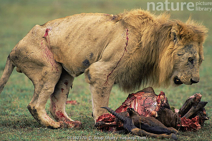 Old wounded, male African lion {Panthera leo} moves in to feed on Topi carcass once the main pride has finished feeding, Masai Mara GR, Kenya  ,  BEHAVIOUR,BIG CATS,CARNIVORES,East Africa,FEEDING,Kenya,LIONS,MALES,MAMMALS,RESERVE,SAD,SCAVENGING,SICK,VERTEBRATES,Africa,Concepts  ,  Anup Shah