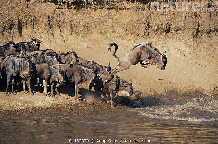 Wildebeest {Connochaetes taurinus} leaping into Mara river to cross it on migration, Masai Mara GR, Kenya  ,  ACTION,ARTIODACTYLA,BEHAVIOUR,BOVIDS,East Africa,JUMPING,Kenya,MAMMALS,RESERVE,RIVERS,VERTEBRATES,WATER,WILDEBEESTS,Africa,Antelopes  ,  Anup Shah
