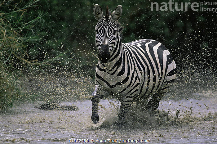 Common zebra {Equus quagga} running through pool of water, Serengeti NP, Tanzania  ,  ACTION,East Africa,MAMMALS,MOVEMENT,PERISSODACTYLA,RESERVE,splash,tanzania,VERTEBRATES,ZEBRAS,Africa,Equines,,Serengeti National Park, UNESCO World Heritage Site,  ,  Anup Shah