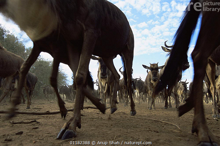 Low angle Wildbeest {Connochaetes taurinus} on the move, Serengeti NP, Tanzania  ,  ARTIODACTYLA,BOVIDS,East Africa,GROUPS,LOW angle shot,MAMMALS,Migration,MOVEMENT,RESERVE,tanzania,VERTEBRATES,WILDEBEESTS,Africa,Antelopes ,low angle,,Serengeti National Park, UNESCO World Heritage Site,  ,  Anup Shah