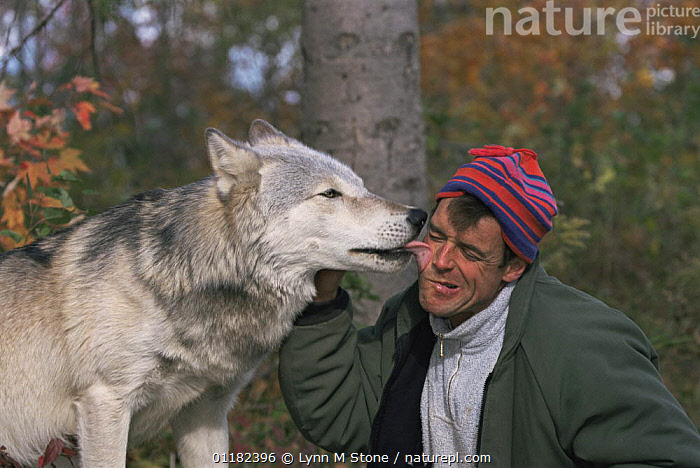 Grey wolf {Canis lupus} licking warden in greeting, captive, Canada  ,  CANADA,CANIDS,CARNIVORES,FRIENDSHIP,HUMOROUS,MAMMALS,MAN,NORTH AMERICA,PEOPLE,SOCIAL BEHAVIOUR,TONGUES,VERTEBRATES,WOLVES,Concepts,Dogs  ,  Lynn M Stone