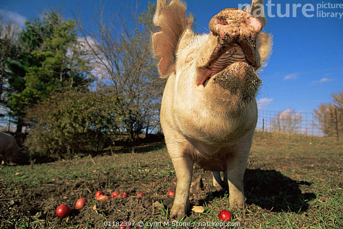 Domestic pig {Sus scrofa domestica} close up of snout sniffing the air, USA  ,  ARTIODACTYLA,CLOSE UPS,HUMOROUS,LIVESTOCK,MAMMALS,NORTH AMERICA,NOSES,PIGS,SUIDS,VERTEBRATES,Concepts  ,  Lynn M Stone