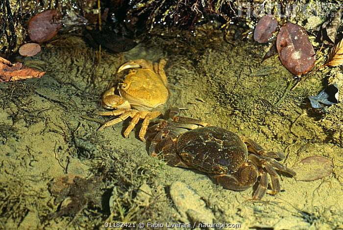 Freshwater crab {Potamon fluviatile} newly moulted, exuvia / shed skin on left, Resina river, Umbria, Italy  ,  ARTHROPODS,CRUSTACEANS,EUROPE,FRESHWATER,INVERTEBRATES,ITALY,LIFE CYCLE,MALE FEMALE PAIR,RIVER CRABS,RIVERS,TWO  ,  Fabio Liverani