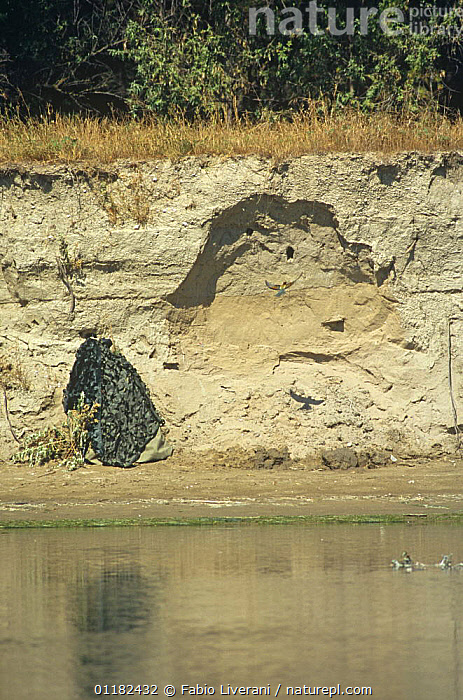 Camouflaged remote controlled camera on the riverbank of Resina river, Umbria, Italy, filming European bee eater flying to nest in bank.  ,  BIRDS,EUROPE,FLYING,ITALY,NESTS,PHOTOGRAPHY,RIVERS,VERTICAL  ,  Fabio Liverani