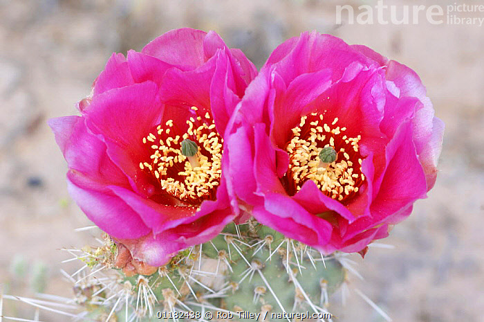 Desert Prickly Pear Cactus flowers {Opuntia sp} Canyonlands NP, Utah, USA  ,  CACTACEAE,CACTI,CACTUS,DICOTYLEDONS,PINK,PLANTS,RESERVE,SUCCULENT,TWO,USA,North America  ,  Rob Tilley