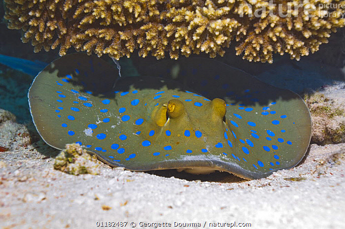 Bluespotted / Ribbontail stingray {Taeniura lymna} hiding under coral, Red Sea, Egypt  ,  BEHAVIOUR,CHONDRICHTHYES,CORAL REEF,FISH,RAYS,RED SEA,SPOTS,SPOTTED,TROPICAL,UNDERWATER,VERTEBRATES,Marine  ,  Georgette Douwma