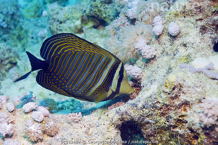 Sailfin tang (Zebrasoma veliferum) grazing on algae on coral reef, Red Sea, Egypt  ,  BEHAVIOUR,CORAL REEFS,FEEDING,FISH,MARINE,OSTEICHTHYES,RED SEA,SURGEONFISH,TANGS,TROPICAL,UNDERWATER,VERTEBRATES  ,  Georgette Douwma