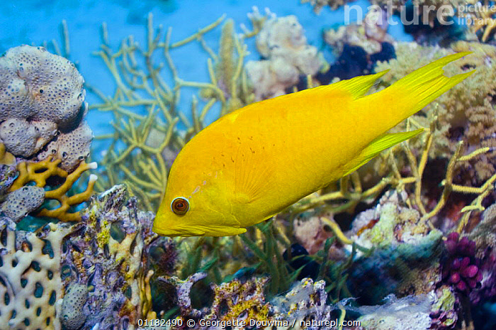 Female Slingjaw wrasse {Epibulus insidiator} amongst coral, Red Sea, Egypt  ,  COLOURFUL,CORAL REEF,FISH,MARINE,OSTEICHTHYES,RED SEA,TROPICAL,UNDERWATER,VERTEBRATES,WRASSE,YELLOW  ,  Georgette Douwma