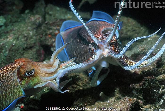 Pharao cuttlefish (Sepia pharaonis) courting males fighting over female. Andaman Sea, Thailand.  ,  AGGRESSION,BEHAVIOUR,CEPHALOPODS,CUTTLEFISH,DOMINANCE,INDO PACIFIC,INVERTEBRATES,MALES,MARINE,MOLLUSCS,TENTACLES,TROPICAL,UNDERWATER,Concepts, Molluscs  ,  Georgette Douwma