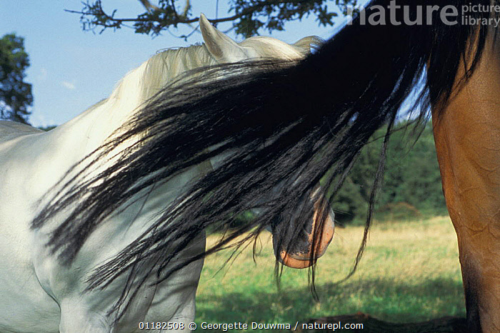 Domestic horse making use of another horse's tail as fly whisk. UK.  ,  BEHAVIOUR,COOPERATION,EUROPE,FLIES,HORSES,MAMMALS,PERISSODACTYLA,PESTS,PETS,TAILS,UK,VERTEBRATES,United Kingdom,British,Equines, United Kingdom, United Kingdom, United Kingdom,Catalogue1  ,  Georgette Douwma