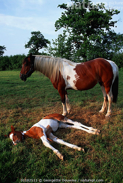 Domestic horse, skewbald mare with resting foal (Equus caballus). UK.  ,  BABIES,EUROPE,FAMILIES,HORSES,MAMMALS,MOTHER BABY,PERISSODACTYLA,PETS,UK,VERTEBRATES,VERTICAL,United Kingdom,British,Equines  ,  Georgette Douwma
