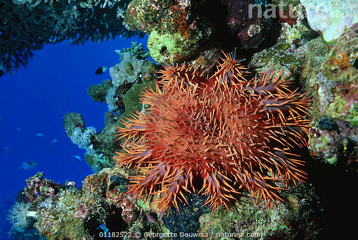 Crown-of-thorns starfish (Acanthaster planci) on coral reef, Red Sea, Egypt.  ,  ASTEROIDEA,CORAL REEFS,ECHINODERMS,INVERTEBRATES,PESTS,PORTRAITS,RED SEA,SEA STARS,STARFISH,TROPICAL,UNDERWATER,Marine, Starfish  ,  Georgette Douwma
