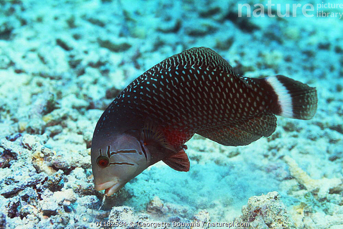Rockmover wrasse (Novaculichthys taeniourus) searhing for prey on coral reef, Bunaken NP, North Sulawesi, Indonesia.  ,  BEHAVIOUR,CORAL REEFS,FEEDING,FISH,INDO PACIFIC,MARINE,OSTEICHTHYES,TROPICAL,UNDERWATER,VERTEBRATES,WRASSE  ,  Georgette Douwma