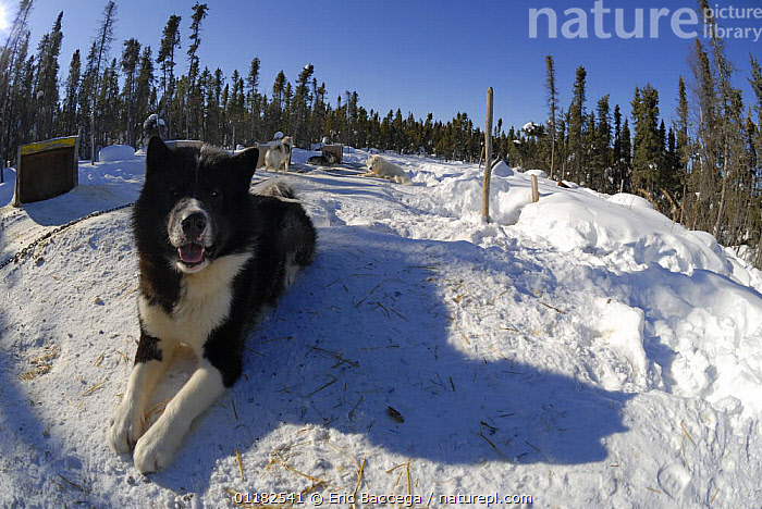 Canadian Eskimo workingd ogs (Canis familiaris) tethered and resting in the snow, Northwest Territories, Canada March 2007  ,  CANADA,DOGS,GROUPS,PETS,PORTRAITS,UTILITY,VERTEBRATES,WINTER,North America,Canids  ,  Eric Baccega