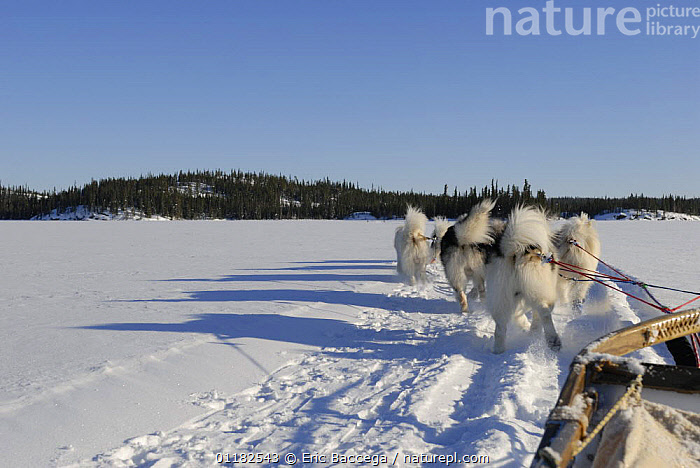 Dogs pulling sledge in winter, Northwest Territories, Canada March 2007  ,  ACTIVITIES,CANADA,DOGS,GROUPS,PEOPLE,PETS,SNOW,TUNDRA,UTILITY,VEHICLES,VERTEBRATES,WINTER,WORKING,North America,Canids  ,  Eric Baccega