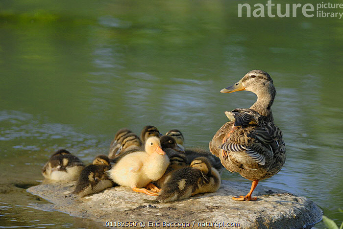 Mallard duck (Anas platyrhynchos) female with ducklings on rock beside water, Marne, France. April  ,  BABIES,BEHAVIOUR,BIRDS,CUTE,DUCKS,EUROPE,FAMILIES,FRANCE,INTERESTING,MOTHER,MOTHER BABY,VERTEBRATES,WATER,WATERFOWL  ,  Eric Baccega