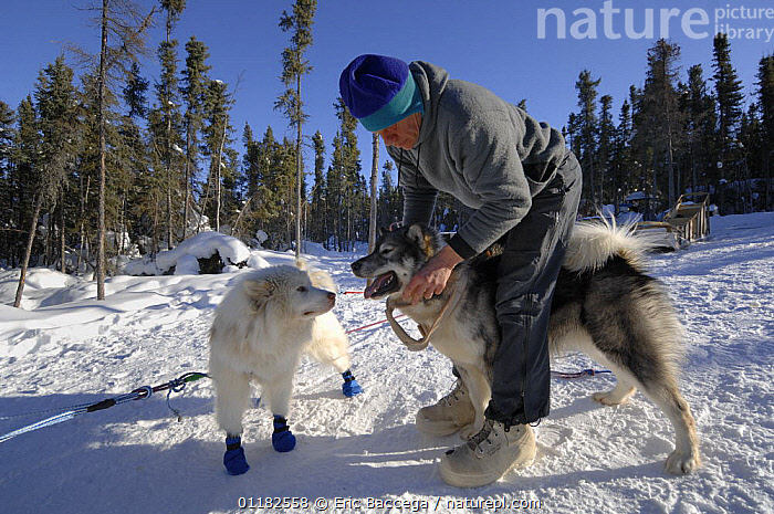 Musher harnessing Canadian Eskimo sledgedogs (Canis familiaris) Northwest Territories, Canada March 2007  ,  CANADA,DOGS,MAN,PEOPLE,PETS,SNOW,VERTEBRATES,WINTER,WORKING,North America,Canids  ,  Eric Baccega
