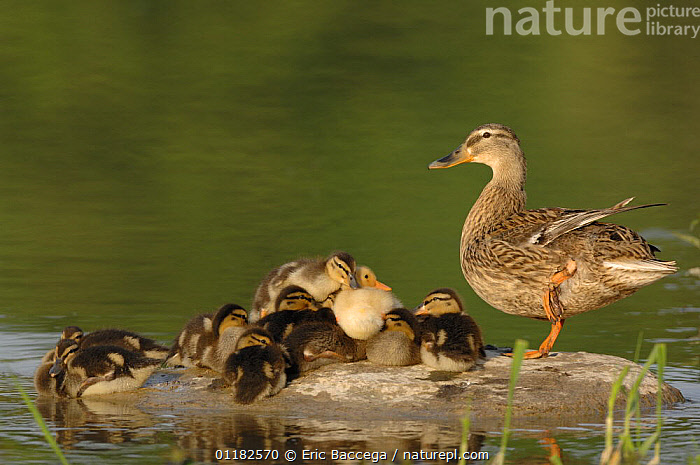 Mallard duck (Anas platyrhynchos) female with ducklings on rock beside water, Marne Department, France. April  ,  BABIES,BATHING,BEHAVIOUR,BIRDS,CUTE,DUCKS,EUROPE,FAMILIES,FRANCE,GROUPS,MOTHER BABY,VERTEBRATES,WATERFOWL  ,  Eric Baccega