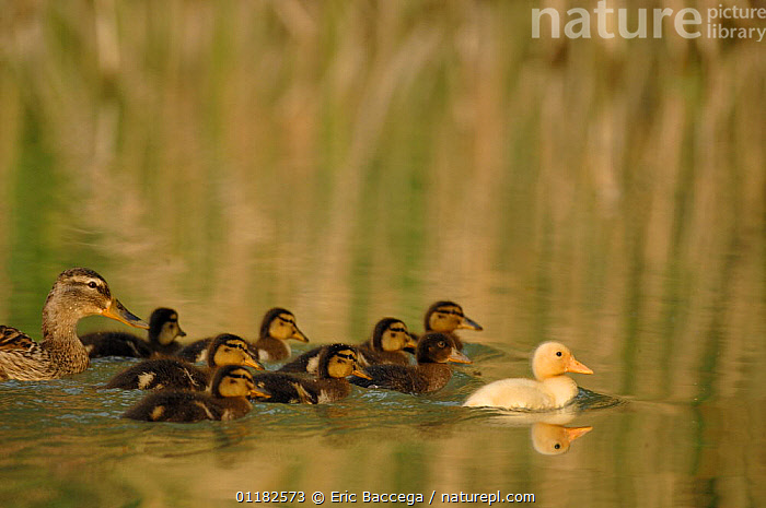 Mallard duck (Anas platyrhynchos) female on water with her nine ducklings , Marne Department, France. April  ,  BABIES,BIRDS,CUTE,DUCKS,EUROPE,FAMILIES,FRANCE,GROUPS,MOTHER BABY,REFLECTIONS,SWIMMING,VERTEBRATES,WATERFOWL  ,  Eric Baccega