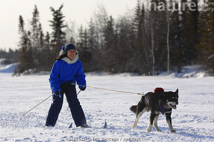 Woman cross country / Nordic skiing pulled by dog (Canis familiaris) Northwest Territories, Canada. March 2007  ,  CANADA,DOGS,NORTH AMERICA,PEOPLE,PETS,RECREATION,SNOW,VERTEBRATES,WINTER,WORKING,Canids  ,  Eric Baccega