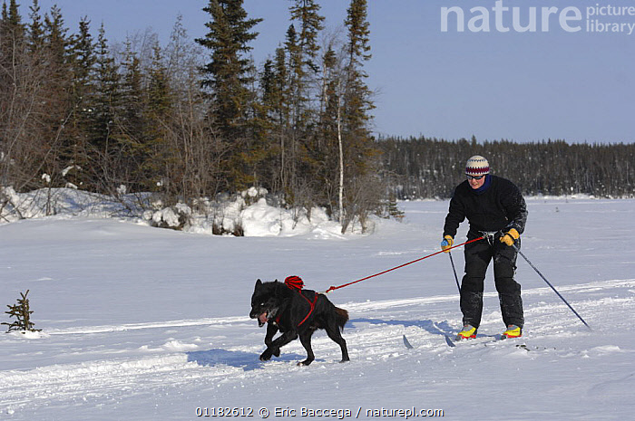 Man cross country / Nordic skiing pulled by dog (Canis familiaris) Northwest Territories, Canada. March 2007  ,  CANADA,DOGS,LEISURE,NORTH AMERICA,PEOPLE,PETS,RECREATION,SNOW,VERTEBRATES,WINTER,WORKING,Canids  ,  Eric Baccega