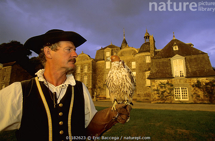 A captive gyrfalcon (Falco rusticolus) wearing hood, perched on Falconer's arm in traditional costume, Chateau de la Bourbansais, Brittany, France  ,  BIRDS,BIRDS OF PREY,BUILDINGS,CASTLES,DAWN,DISPLAY,DUSK,EUROPE,FALCONRY,FALCONS,FRANCE,HOODS,PEOPLE,PORTRAITS,VERTEBRATES,WORKING,Communication  ,  Eric Baccega