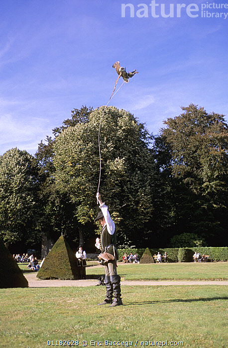 Peregrine falcon (Falco peregrinus) and trainer performing during a falconry show, Chateau de la Bourbansais, Brittany, France  ,  BEHAVIOUR,BIRDS,BIRDS OF PREY,DISPLAY,EUROPE,FALCONS,FRANCE,HUNTING SPORT,PEOPLE,PREDATION,VERTEBRATES,VERTICAL,Communication  ,  Eric Baccega