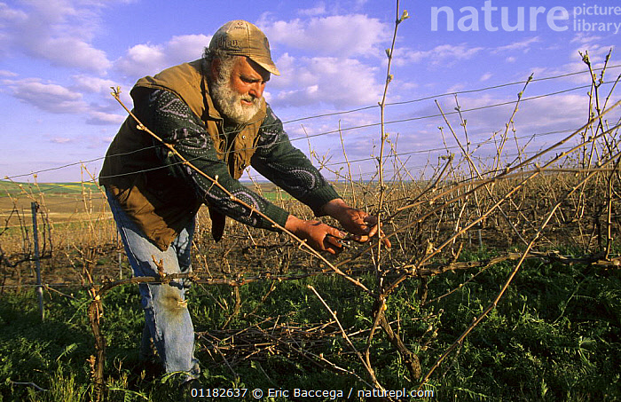 Man pruning vines in early spring, C�te de Blancs vineyard, Champagne country, France  ,  AGRICULTURE,EUROPE,PEOPLE,PLANTS,VINEYARDS,WORKING  ,  Eric Baccega