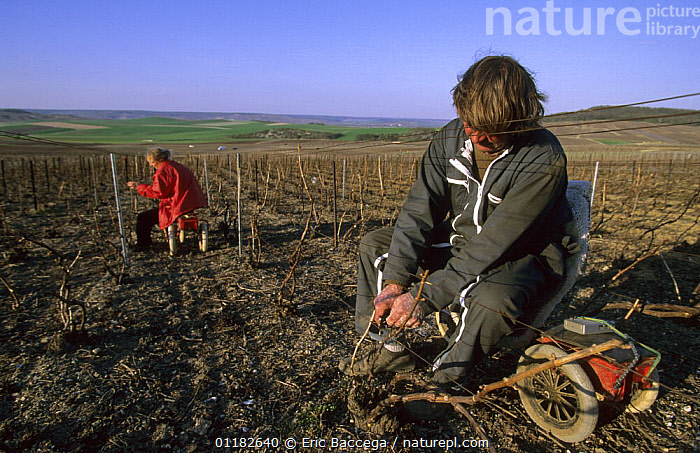 Workers tidying up rods on the stocks in early spring, Cramant, C�te de Blancs vineyard, Champagne country, France  ,  AGRICULTURE,EUROPE,LANDSCAPES,PEOPLE,VINEYARDS,WORKING  ,  Eric Baccega