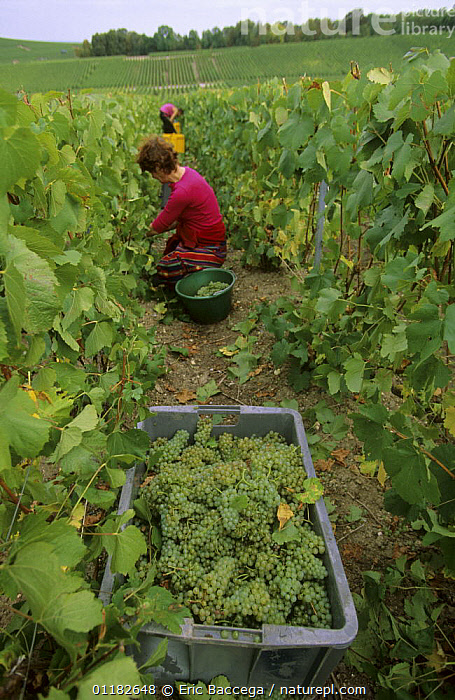 Chardonnay grape harvest during autumn, Chouilly, C�te de Blancs vineyard, Champagne country, France, 2006  ,  AGRICULTURE,EUROPE,FEMALES,FRUIT,GRAPES,HARVESTING,PEOPLE,VERTICAL,VINEYARDS,WORKING,Plants  ,  Eric Baccega