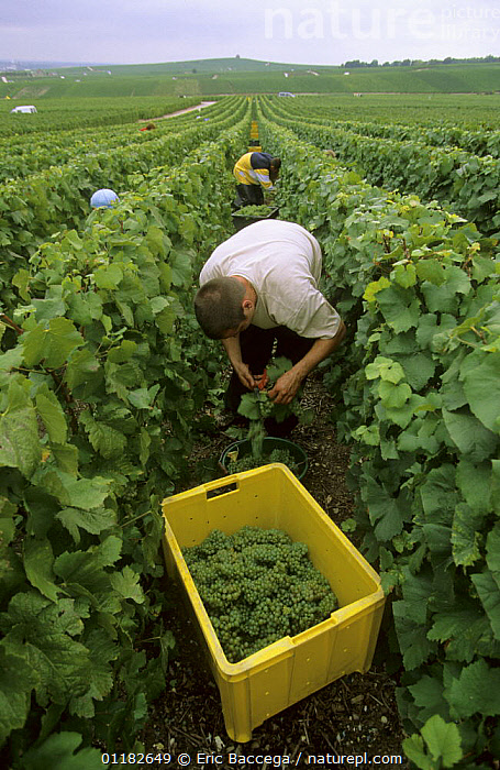 Chardonnay grape harvest during autumn, Chouilly, C�te de Blancs vineyard, Champagne country, France  ,  AGRICULTURE,EUROPE,FRUIT,GRAPES,GROUPS,PEOPLE,PICKING,VERTICAL,VINEYARDS,WORKING,Plants  ,  Eric Baccega
