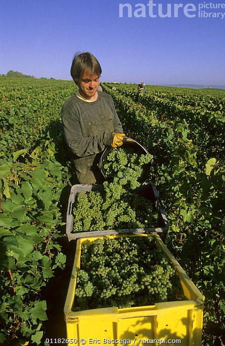 Chardonnay grape harvest during autumn, Chouilly, C�te de Blancs vineyard, Champagne country, France  ,  AGRICULTURE,EUROPE,FRUIT,GRAPES,PEOPLE,PICKING,PORTRAITS,SIZE,VERTICAL,VINEYARDS,WORKING,Plants  ,  Eric Baccega