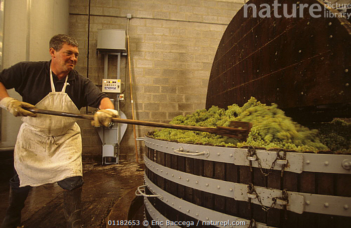 Man working at traditional wine press, M. Coquillette Champagne producer in Chouilly, C�te de Blancs vineyard, Champagne country, France  ,  AGRICULTURE,EUROPE,FRUIT,GRAPES,HARVESTING,PEOPLE,VINEYARDS,WORKING,Plants  ,  Eric Baccega
