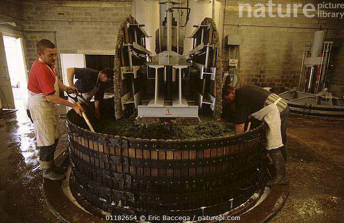 Men working at traditional wine press, M. Coquillette Champagne producer in Chouilly, C�te de Blancs vineyard, Champagne country, France  ,  AGRICULTURE,EUROPE,FRUIT,GRAPES,HARVESTING,PEOPLE,VINEYARDS,WORKING,Plants  ,  Eric Baccega