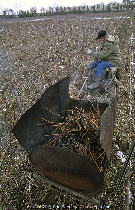 Man pruning vine stocks at the end of winter, and the shoots being burned. Chouilly, the C�te de Blancs vineyard, Champagne country, France  ,  AGRICULTURE,BURNING,EUROPE,FRANCE,PEOPLE,PLANTS,SNOW,VERTICAL,VINEYARDS,WORKING  ,  Eric Baccega