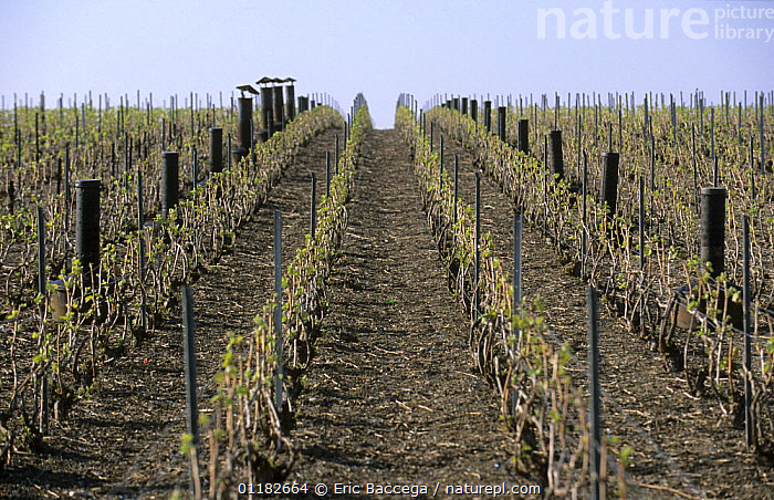 Vineyard heaters to protect stocks from early spring frost, Chouilly, C�te de Blancs vineyard, Champagne country, France  ,  AGRICULTURE,COLD,EUROPE,INTERESTING,VINEYARDS,WARM  ,  Eric Baccega