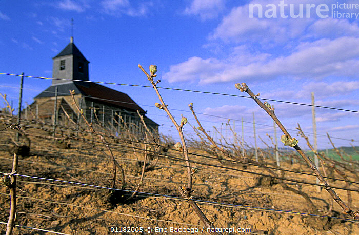 Church among vineyards, Mutigny, early spring, C�te de Blancs vineyard, Champagne country, France  ,  AGRICULTURE,BUDS,BUILDINGS,CHURCHES,EUROPE,LANDSCAPES,PLANTS,VINES  ,  Eric Baccega