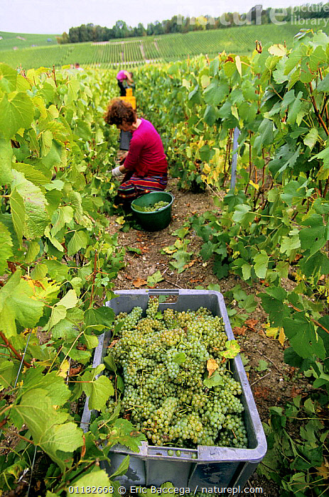 Chardonnay grape harvest during autumn, Chouilly, C�te de Blancs vineyard, Champagne country, France  ,  AGRICULTURE,EUROPE,FRUIT,GRAPES,HARVESTING,PEOPLE,VERTICAL,VINEYARDS,WORKING,Plants  ,  Eric Baccega