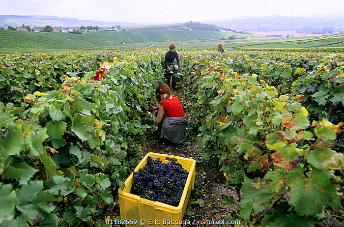 Pinot noir grape harvest during autumn, Chouilly, C�te de Blancs vineyard, Champagne country, France  ,  AGRICULTURE,EUROPE,FRUIT,GRAPES,GROUPS,HARVESTING,LANDSCAPES,PEOPLE,RED,VINEYARDS,WORKING,Plants  ,  Eric Baccega