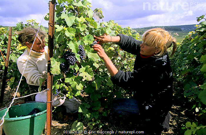 Women harvesting Pinot noir grapes during autumn, Chouilly, C�te de Blancs vineyard, Champagne country, France  ,  AGRICULTURE,EUROPE,FEMALES,FRUIT,GRAPES,HARVESTING,PEOPLE,RED,TWO,VINEYARDS,WORKING,Plants  ,  Eric Baccega