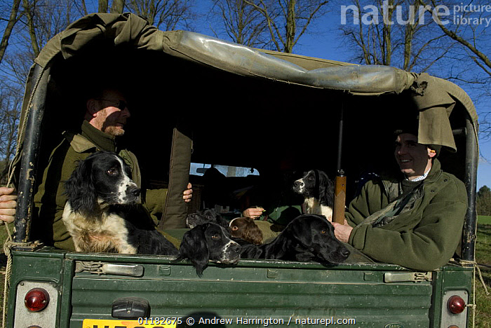 Spaniels and Labrador in back of vehicle with owners before Pheasant shoot, UK  ,  DOGS,EUROPE,GUNDOGS,HUNTING,PEOPLE,SHOOTING,UK,United Kingdom,British  ,  Andrew Harrington