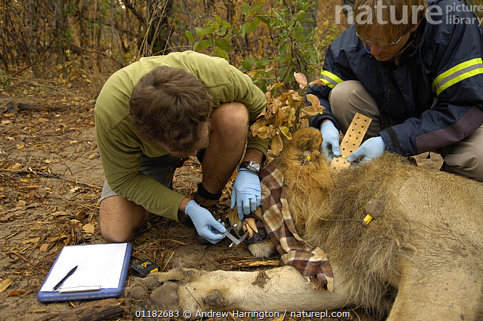 Scientist measuring teeth whilst other fits collar on African lion {Panthera leo} Hwange national park, Zimbabwe  ,  AFRICA,BIG CATS,CARNIVORES,COLLAR,COLLARS,LIONS,MAMMALS,PEOPLE,RESEARCH,SCIENTISTS,TAGGING,VERTEBRATES  ,  Andrew Harrington