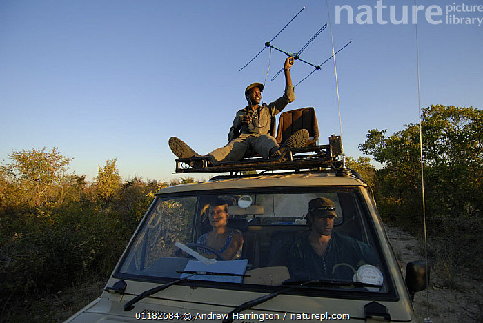 Radio tracking African lion from the roof of vehicle, Hwange national park, Zimbabwe  ,  AFRICA,PEOPLE,RESEARCH,SCIENCE,SOUTHERN AFRICA  ,  Andrew Harrington