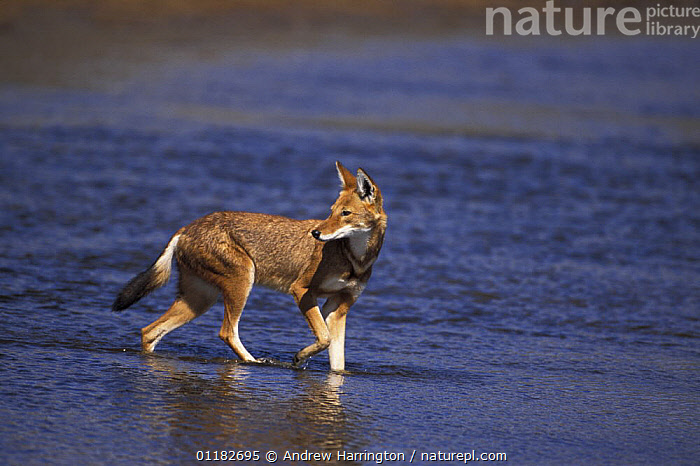 Simien jackal / Ethiopian wolf {Canis simensis}crossing Web river, Bale mountains, Ethiopia.  ,  AFRICA,BLUE,CANIDS,CARNIVORES,EAST AFRICA,ENDANGERED,JACKALS,MAMMALS,RED,RIVERS,WATER,Dogs  ,  Andrew Harrington