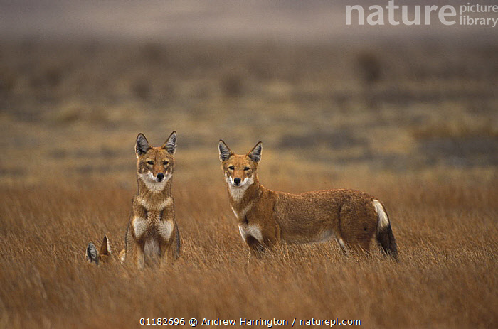 Simien jackal / Ethiopian wolf {Canis simensis} Bale mountains, Ethiopia  ,  AFRICA,CANIDS,CARNIVORES,EAST AFRICA,ENDANGERED,HABITAT,JACKALS,LANDSCAPES,MAMMALS,RED,Dogs  ,  Andrew Harrington