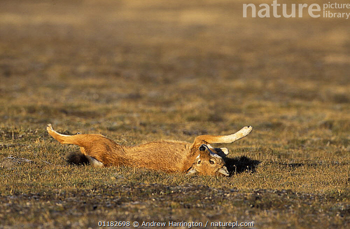 Simien jackal / Ethiopian wolf {Canis simensis} rolling on back in grass, Bale mountains, Ethiopia.  ,  AFRICA,BEHAVIOUR,CANIDS,CARNIVORES,EAST AFRICA,ENDANGERED,JACKALS,LYING,MAMMALS,PLAY,RED,RELAXING,STRECH,Communication,Dogs  ,  Andrew Harrington