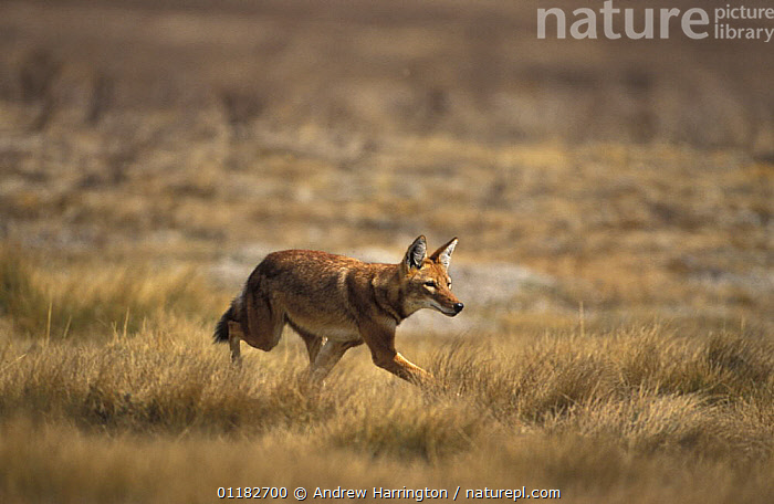 Simien jackal / Ethiopian wolf {Canis simensis}running in grassland, Bale mountains, Ethiopia  ,  AFRICA,CANIDS,CARNIVORES,EAST AFRICA,ENDANGERED,HABITAT,JACKALS,LANDSCAPES,MAMMALS,Dogs  ,  Andrew Harrington
