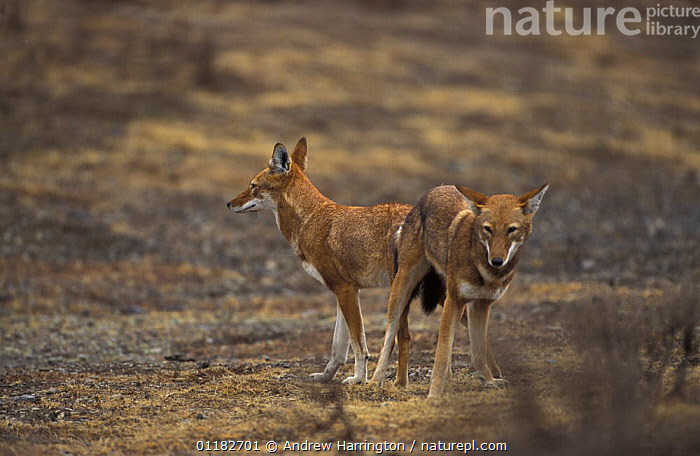 Simien jackal / Ethiopian wolf {Canis simensis} tied after mating,Bale mountains, Ethiopia  ,  AFRICA,BEHAVIOUR,CANIDS,CARNIVORES,COPULATION,EAST AFRICA,ENDANGERED,JACKALS,MALE FEMALE PAIR,MAMMALS,MATING,PAIR,REPRODUCTION,Dogs  ,  Andrew Harrington