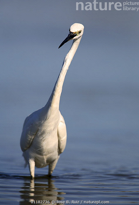 Little Egret {Egretta garzetta} portrait wading and looking for prey in water, Donana NP, Sevilla, Spain  ,  BIRDS,EUROPE,EYES,HERONS,NECKS,PORTRAITS,PREDATION,SPAIN,VERTEBRATES,VERTICAL,WATER,Behaviour  ,  Jose B. Ruiz